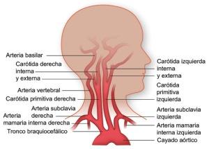 flujo sanguíneo al cerebro proveniente del corazón