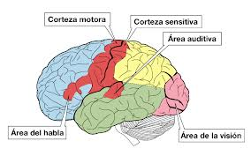 Corteza motora y corteza sensorial