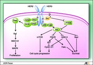 Human Epidermal growth factor Receptor 2