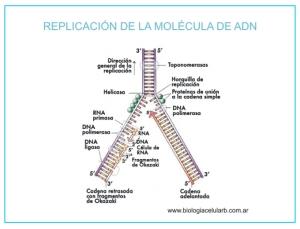 Replicación de la molécula de ADN