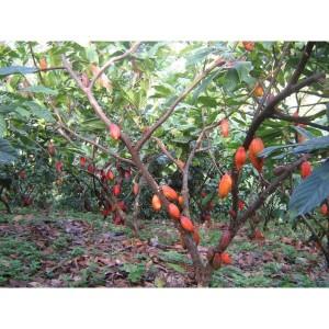 Árbol de cacao amarillo