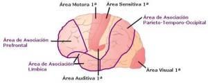 Área de Asociación ubicada en el Lóbulo Prefrontal