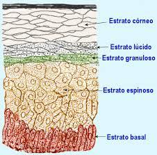 Estratos de la piel