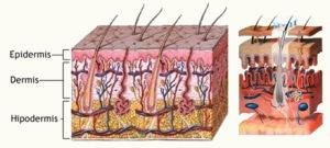 Estructuras de la dermis