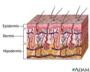 Las capas de la piel