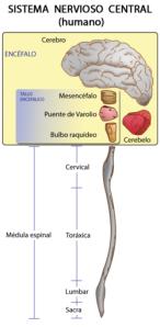 Sistema nervioso central humano