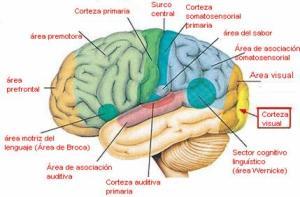 Diversas áreas del cerebro