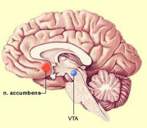 Núcleo accumbens y el área tegmental ventral