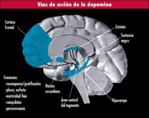 Vías de acción de la dopamina
