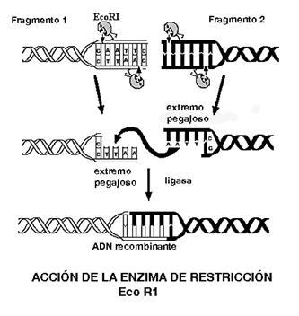Corte por enzimas de restricción