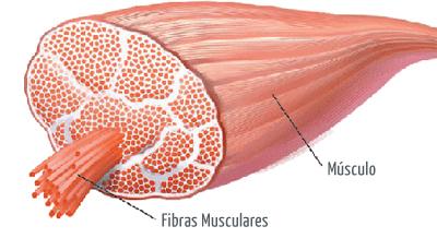 Hipertrofia y fibras musculares